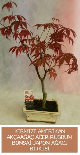 Amerikan akçaağaç Acer Rubrum bonsai  Adana çiçek siparişi uluslararası çiçek gönderme