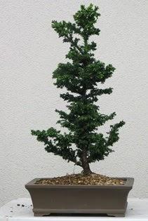 Çam ağacı bonsai bitkisi satışı  Adana çiçek yolla çiçekçi telefonları