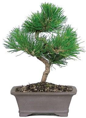Çam ağacı bonsai japon ağacı bitkisi  Adana çiçek yolla çiçek gönderme