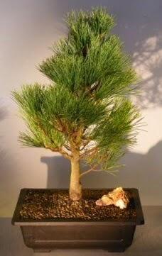 Çam ağacı japon ağacı bitkisi bonsai  Adana çiçek yolla çiçekçi telefonları