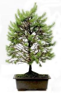 *** STOKTA YOK - Çam ağacı bonsai bitkisi satışı  Adana çiçek siparişi cicekciler , cicek siparisi