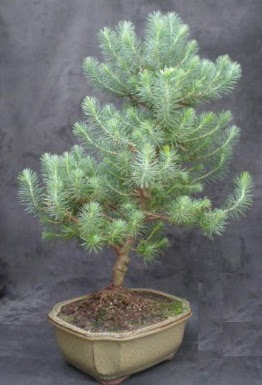 Bonsai çam ağacı japon ağacı bitkisi  Adana çiçek yolla çiçek gönderme sitemiz güvenlidir