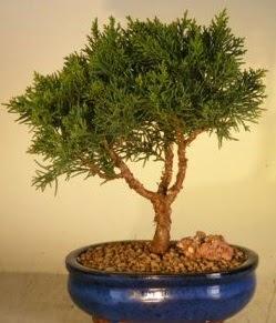 Servi çam bonsai japon ağacı bitkisi  Adana çiçek yolla çiçek yolla