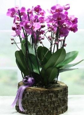 Kütük içerisinde 6 dallı mor orkide  Adana çiçek gönder ucuz çiçek gönder