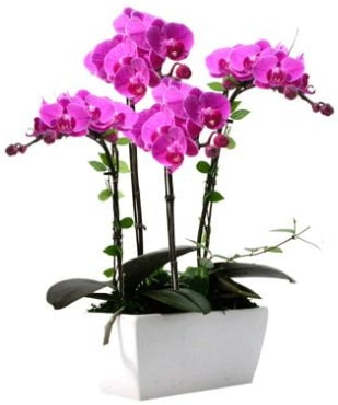 Seramik vazo içerisinde 4 dallı mor orkide  Adana çiçek yolla çiçek satışı
