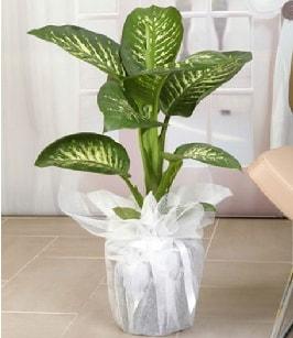 Tropik saksı çiçeği bitkisi  Adana çiçek yolla çiçek satışı