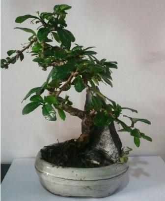 S şeklinde ithal bonsai ağacı  Adana çiçek yolla çiçek yolla