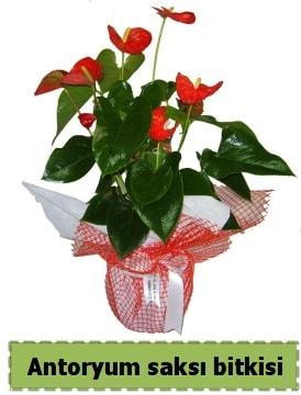 Antoryum saksı bitkisi satışı  Adana çiçek gönder çiçek , çiçekçi , çiçekçilik