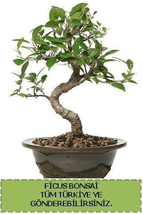 Ficus bonsai  Adana çiçek yolla çiçek gönderme sitemiz güvenlidir