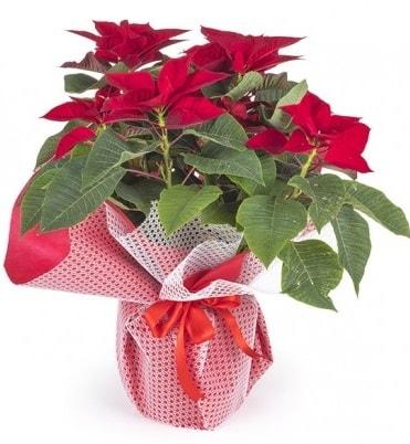 Atatürk çiçeği saksı bitkisi  Adana çiçek yolla çiçek gönderme sitemiz güvenlidir