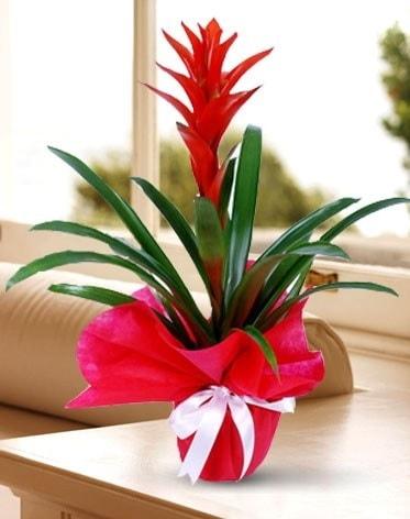 Guzmanya Saksı Çiçeği  Adana çiçek yolla çiçek yolla