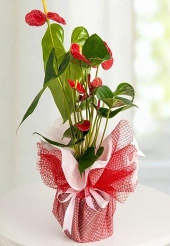 Anthurium Saksı Çiçeği  Adana çiçek gönder hediye çiçek yolla