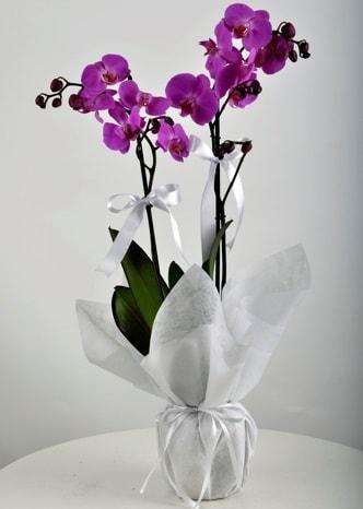 Çift dallı saksıda mor orkide çiçeği  Adana çiçek siparişi çiçek siparişi vermek