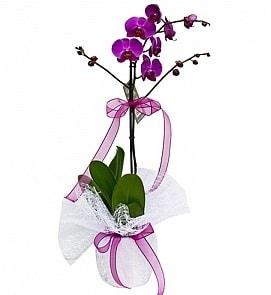 Tek dallı saksıda ithal mor orkide çiçeği  Adana çiçek siparişi çiçekçiler