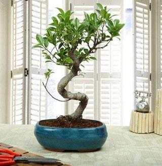 Amazing Bonsai Ficus S İthal  Adana çiçek siparişi internetten çiçek siparişi