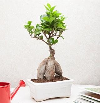 Exotic Ficus Bonsai ginseng  Adana çiçek siparişi çiçek servisi , çiçekçi adresleri