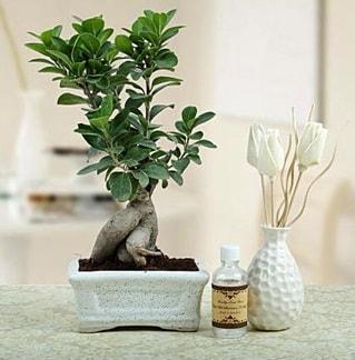 Ginseng ficus bonsai  Adana çiçek siparişi çiçekçiler