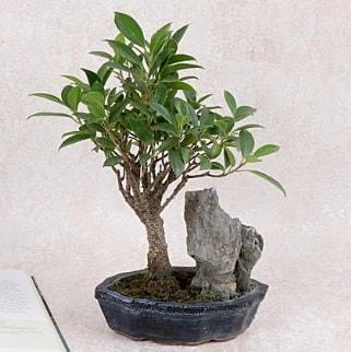 Japon ağacı Evergreen Ficus Bonsai  Adana çiçek yolla çiçek gönderme sitemiz güvenlidir