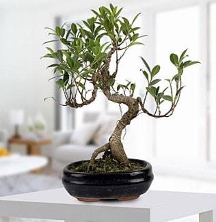 Gorgeous Ficus S shaped japon bonsai  Adana çiçek siparişi yurtiçi ve yurtdışı çiçek siparişi