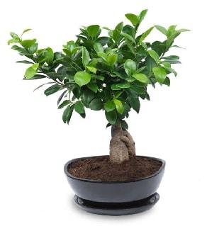 Ginseng bonsai ağacı özel ithal ürün  Adana çiçek gönder internetten çiçek satışı