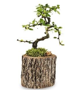 Doğal kütükte S bonsai ağacı  Adana çiçek yolla çiçek satışı