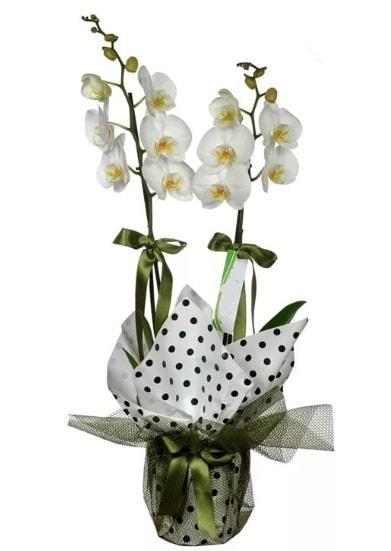 Çift Dallı Beyaz Orkide  Adana çiçek siparişi 14 şubat sevgililer günü çiçek