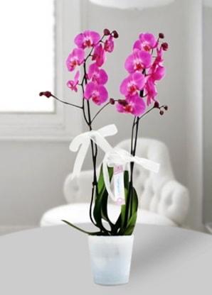 Çift dallı mor orkide  Adana çiçek siparişi çiçekçiler