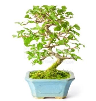 S zerkova bonsai kısa süreliğine  Adana çiçek yolla İnternetten çiçek siparişi