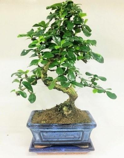 S Bonsai japon ağacı bitkisi  Adana çiçek siparişi uluslararası çiçek gönderme