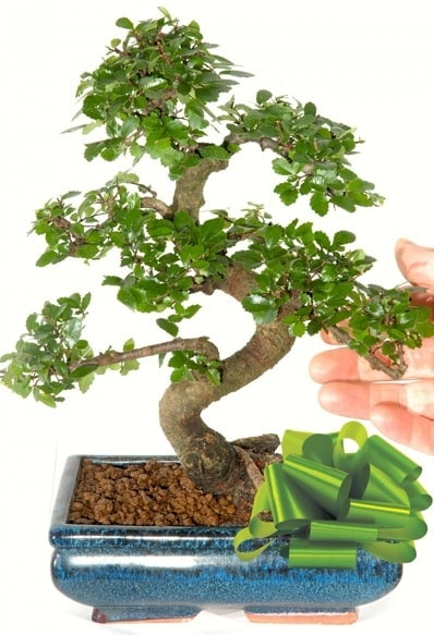 Yaklaşık 25 cm boyutlarında S bonsai  Adana çiçek gönder çiçek siparişi sitesi