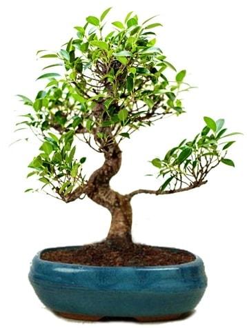 25 cm ile 30 cm aralığında Ficus S bonsai  Adana çiçek yolla çiçek gönderme sitemiz güvenlidir