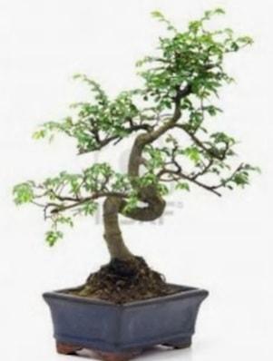 S gövde bonsai minyatür ağaç japon ağacı  Adana çiçek yolla çiçek satışı
