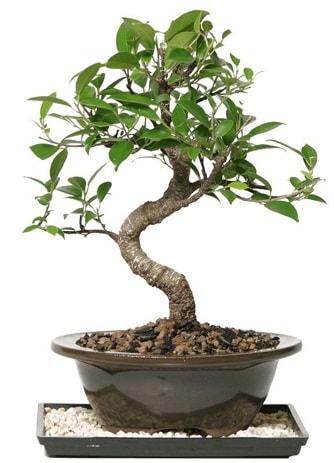 Altın kalite Ficus S bonsai  Adana çiçek yolla çiçekçi telefonları  Süper Kalite