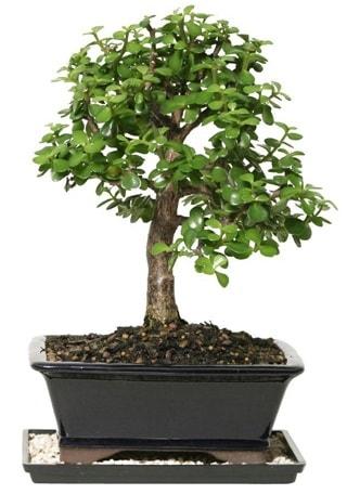 15 cm civarı Zerkova bonsai bitkisi  Adana çiçek gönder çiçek siparişi sitesi