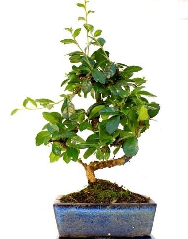 S gövdeli carmina bonsai ağacı  Adana çiçek yolla çiçek yolla  Minyatür ağaç