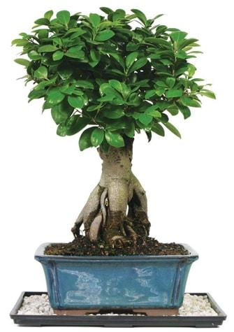 Bonsai Ginsing Grafted Ficus Bonsai  Adana çiçek yolla çiçek yolla
