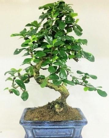 Zelkova S gövdeli Minyatür ağaç Bonzai  Adana çiçek yolla çiçek gönderme