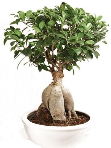 Ginseng bonsai japon ağacı ficus ginseng  Adana çiçek yolla İnternetten çiçek siparişi